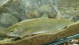 Steelhead Trout